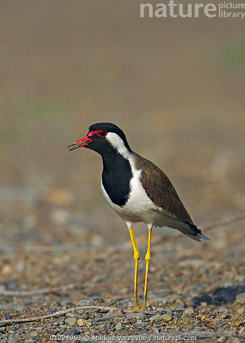 Red-wattled lapwing (Vanellus indicus) perched on ground, Oman, March  ,  ARABIA,BIRDS,MIDDLE EAST,OMAN,PLOVERS,PORTRAITS,VERTEBRATES,VERTICAL,WADERS  ,  Markus Varesvuo