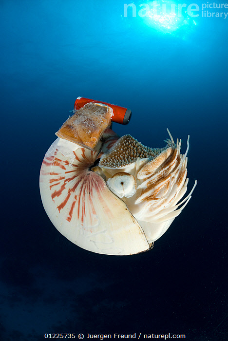 Chambered nautilus (Nautilus pompilius) with radio transmitter, Indo-pacific, AUSTRALIA,CATALOGUE2,CEPHALOPODS,close up,COMMUNICATION,environmental conservation,INDO PACIFIC,INVERTEBRATES,MARINE,Mission,MOLLUSCS,Nobody,one animal,pearly nautilus,radio transmitter,RESEARCH,sea life,tagged,tagging,TROPICAL,UNDERWATER,VERTICAL,WILDLIFE,Wildlife Tracking Tag, Jurgen Freund