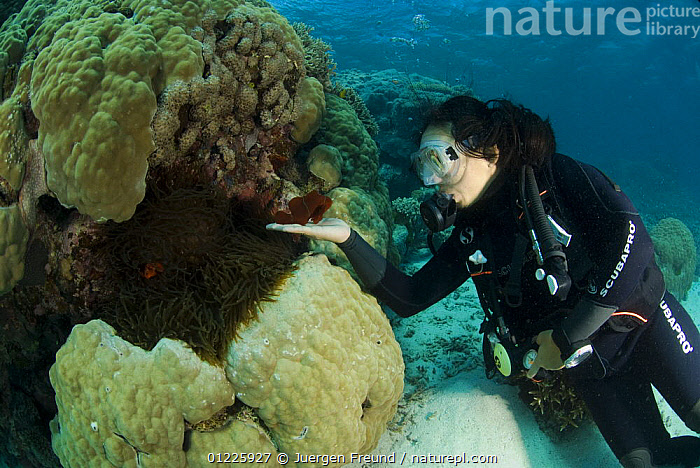 Diver coaxes a Spine-cheek anemonefish (Premnas biaculeatus) to come out of its anemone,  Indo-pacific  ,  DAMSELFISH,DIVING,FISH,GREAT BARRIER REEF,MARINE,OSTEICHTHYES,PACIFIC,PEOPLE,TROPICAL,UNDERWATER,VERTEBRATES,JURGEN  ,  Juergen Freund