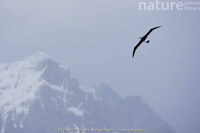 Black-browed Albatross (Thalassarche melanophrys) in flight near South Georgia, Antarctica. November  ,  ALBATROSSES,animals in the wild,ANTARCTICA,BIRDS,CATALOGUE2,DIOMEDEA MELANOPHRYS,ease,FLYING,FREEDOM,MOUNTAINS,Nobody,non urban scene,on the move,one animal,outdoors,SEABIRDS,snowcapped,SOUTH GEORGIA,VERTEBRATES,WILDLIFE,WINTER,CONCEPTS,FALKLAND ISLANDS  ,  Roy Mangersnes