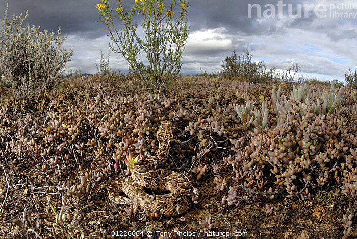 Puff adder (Bitis arietans) juvenile amongst succulent plants in karoo habitat, Little Karoo, South Africa  ,  CAMOUFLAGE,REPTILES,SNAKE,SNAKES,SOUTH AFRICA,VERTEBRATES,VIPERS, Adders, Snakes, Adders, Snakes,Catalogue1  ,  Tony Phelps