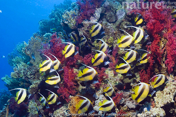 Red Sea bannerfish (Heniochus intermedius) large school with soft corals. Egypt, Red Sea  ,  BUTTERFLYFISH,CORAL REEFS,FISH,GROUPS,LANDSCAPES,MARINE,OSTEICHTHYES,RED SEA,TROPICAL,UNDERWATER,VERTEBRATES,Catalogue1  ,  Georgette Douwma