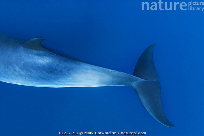 Tail flippers of Dwarf minke whale, thought to form a yet-to-be named sub-species of the Common minke whale {Balaenoptera acutorostrata}, Ribbon Reefs, Great Barrier Reef, Queensland, Australia  ,  BLUE,CETACEANS,MAMMALS,MARINE,PACIFIC OCEAN,TAILS,TROPICAL,UNDERWATER,VERTEBRATES,WHALES,AUSTRALIA,Catalogue1,,Baleen whale,  ,  Mark Carwardine