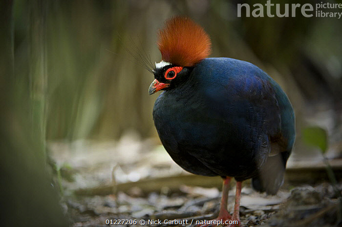 Male Crested wood partridge (Rollulus rouloul) from evergreen rainforest areas of Borneo, Sumatra and Malay Peninsula. Captive, Jurong Bird Park, Singapore., ASIA,BIRDS,GALLIFORMES,GAME BIRDS,MALES,PARTRIDGE,TROPICAL RAINFOREST,VERTEBRATES, Nick Garbutt
