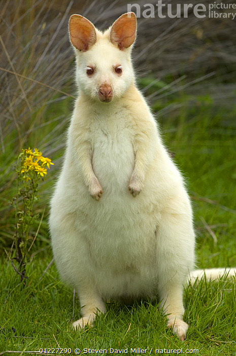Red necked / Bennett's wallaby (Macropus rufogriseus) albino female grazing, South Bruny Island, Tasmania, Australia  ,  ALBINO,AUSTRALIA,COLOUR,CUTE,FEMALES,MAMMALS,MARSUPIALS,PORTRAITS,VERTEBRATES,VERTICAL,WALLABIES  ,  Steven David Miller