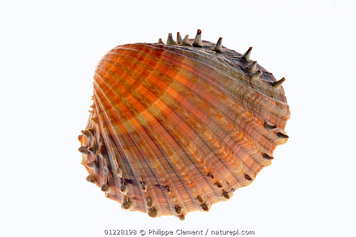 Prickly cockle (Acanthocardia echinata) shell, Mediterranean, France  ,  BIVALVES,COCKLES,CUTOUT,EUROPE,FRANCE,INVERTEBRATES,MARINE,MOLLUSCS,SEASHELLS,SHELLS,SPIKES,SPINES,TEMPERATE  ,  Philippe Clement