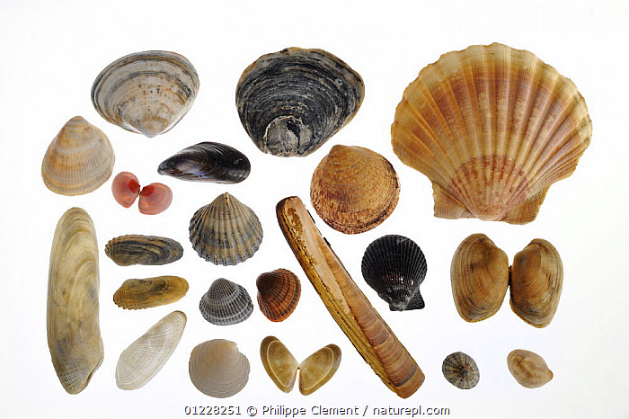Collection of shells: Rayed trough shell (Mactra stultorum cinerea / Mactra corallina cinerea), Common oyster (Ostrea edulis), Scallop shell (Pecten jacobeus), Smooth cockle / Norway cockle (Laevicardium crassum), Baltic tellin shell (Macoma balthica), Common mussel (Mytilus edulis), Dog cockle (Glycymeris glycymeris), Common piddock (Pholas dactylus), American piddock (Petricola pholadiformis), Poorly ribbed cockle (Acanthocardia paucicostata), Common cockles (Cerastoderma edule / Cardium edule), Atlantic jackknife / American jackknife clam / razor clam (Ensis directus / Ensis americanus), Variegated scallop (Chlamys varia / Mimachlamys varia), Pullet carpet shell (Venerupis senegalensis), White piddock (Barnea candida), Rayed artemis (Dosinia exoleta), Banded wedge shell (Donax vittatus), Common limpet (Patella vulgata) and American slipper limpet (Crepidula fornicata) from the North Sea  ,  BIVALVES,CLAMS,COCKLES,CUTOUT,EUROPE,GASTROPODS,GROUPS,INVERTEBRATES,LIMPETS,MARINE,MIXED SPECIES,MOLLUSCS,MUSSELS,OYSTERS,SCALLOPS,SEASHELLS,TELLINS,TEMPERATE,Bivalve  ,  Philippe Clement
