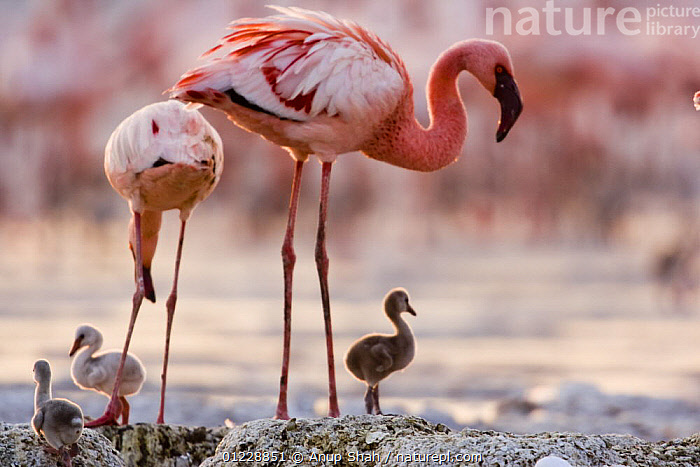 Lesser flamingo {Phoeniconaias minor} adults and chicks at nest, Lake Nakuru NP, Kenya  ,  BABIES,BIRDS,CHICKS,EAST AFRICA,FAMILIES,FLAMINGOS,KENYA,LAKES,NESTS,PINK,RESERVE,VERTEBRATES,Africa  ,  Anup Shah