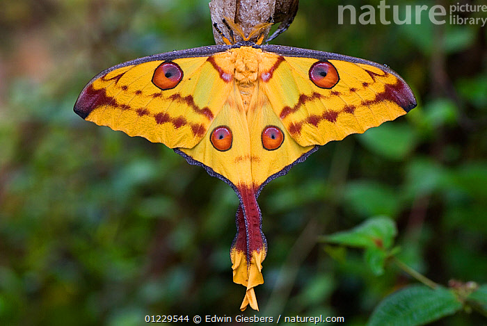 RF- Madagascar moon moth (Argema mittrei), Madagascar, Africa. (This image may be licensed either as rights managed or royalty free.)  ,  EMPEROR-MOTHS,EYES,INSECTS,INVERTEBRATES,LEPIDOPTERA,MADAGASCAR,MOTHS,PATTERNS,WINGS,YELLOW RF16Q4,ARGEMA MITTREI,Animal,Arthropod,Insect,Saturniid,Moon moth,Comet moth,Animalia,Animal,Wildlife,Hexapoda,Arthropod,Invertebrate,Hexapod,Arthropoda,Insecta,Insect,Lepidoptera,Lepidopterans,Saturniidae,Saturniid,Moth,Argema,Moon moth,Argema mittrei,Comet moth,Madagascan moon moth,Madagascar moon moth,Argema cometes,Argema idea,Argema madagascariensis,Hanging,Symmetry,Colour,Red,Yellow,Colourful,Nobody,Pattern,Shape,Circle,Africa,Madagascar,Malagasy Republic,Republic of Madagascar,Close Up,Day,Nature,Beauty In Nature,Wild,Biodiversity hotspots,Biodiversity hotspot,Animal marking,RF,Royalty free,RFCAT1,RF16Q4,Emperor moth,Emperor moths  ,  Edwin  Giesbers