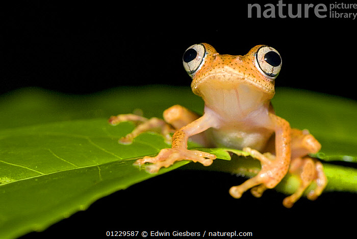 Frog (Boophis sp) on leaf, Madagascar, AMPHIBIANS,ANURA,CUTE,EYES,FROGS,MADAGASCAR,PORTRAITS,TREE FROGS,VERTEBRATES,Catalogue1, Edwin Giesbers