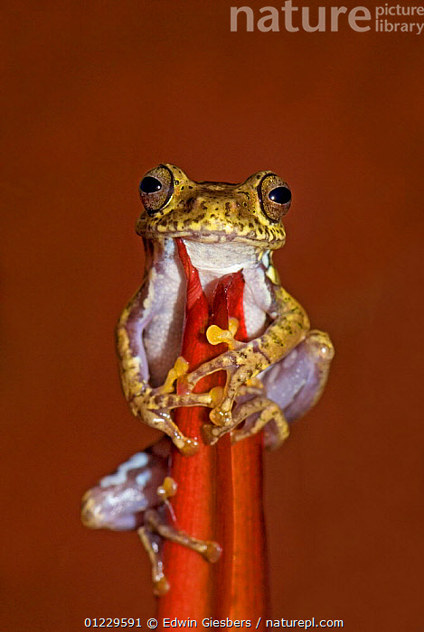 Frog (Boophis idae) on Heliconia flower, Madagascar, AMPHIBIANS,ANURA,FEEDING,FROGS,MADAGASCAR,RED,TREE FROGS,VERTEBRATES,VERTICAL, Edwin Giesbers