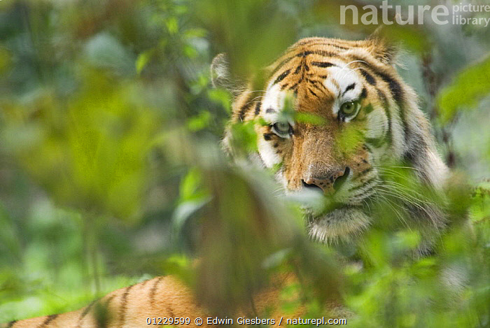 Siberian tiger (Panthera tigris altaica) in vegetation, captive, BIG CATS,CARNIVORES,ENDANGERED,LEAVES,MAMMALS,PORTRAITS,TIGERS, Edwin Giesbers