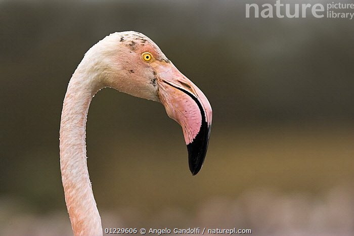 Greater flamingo (Phoenicopterus ruber) portrait, Camargue, France, BIRDS,CUTOUT,EUROPE,FLAMINGOS,FRANCE,HEADS,PORTRAITS,PROFILE,VERTEBRATES, Angelo Gandolfi