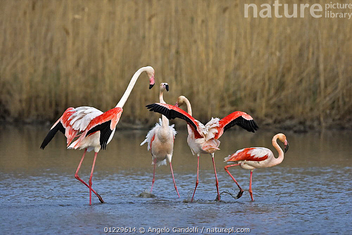 Greater flamingo (Phoenicopterus ruber) individual being chased off after trying to mate, Camargue, France, AGGRESSION,BEHAVIOUR,BIRDS,EUROPE,FLAMINGOS,FOUR,FRANCE,GROUPS,VERTEBRATES,WATER,Concepts, Angelo Gandolfi