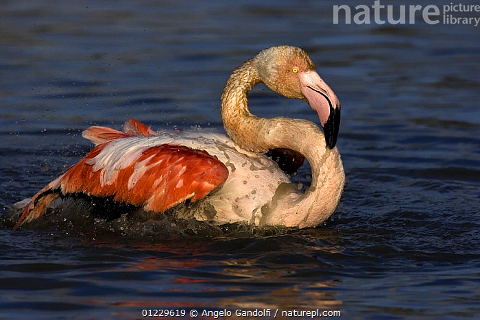 Greater flamingo (Phoenicopterus ruber) bathing, Camargue, France, BATHING,BIRDS,EUROPE,FLAMINGOS,FRANCE,VERTEBRATES,WATER, Angelo Gandolfi