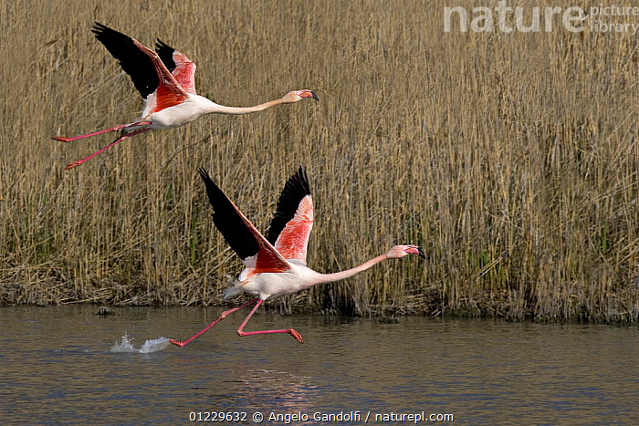 Two Greater flamingoes (Phoenicopterus ruber) one flying and other taking off, Camargue, France, ACTION,BIRDS,EUROPE,FLAMINGOS,FLYING,FRANCE,MOVEMENT,REEDS,RUNNING,TAKE OFF,VERTEBRATES,WATER,WINGS, Angelo Gandolfi