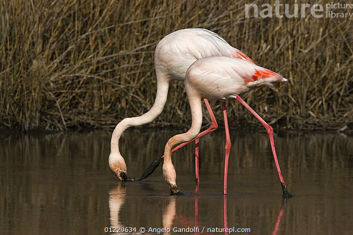 Two Greater flamingoes (Phoenicopterus ruber) filter feeding, Camargue, France, BEHAVIOUR,BIRDS,EUROPE,FEEDING,FLAMINGOS,FRANCE,VERTEBRATES,WATER, Angelo Gandolfi