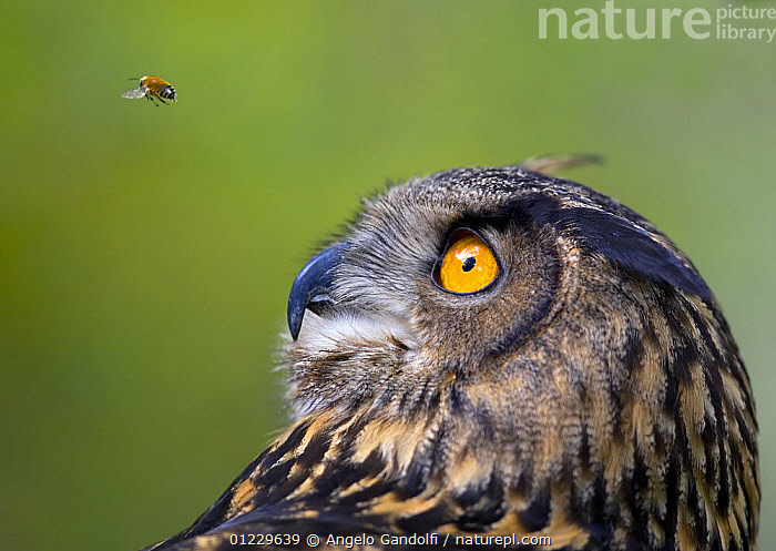 Eagle owl (Bubo bubo) watching insect in flight, captive, BEES,BEHAVIOUR,BIRDS,BIRDS OF PREY,CURIOUS,CUTOUT,INSECTS,MIXED SPECIES,OWLS,PORTRAITS,VERTEBRATES,Invertebrates, Angelo Gandolfi
