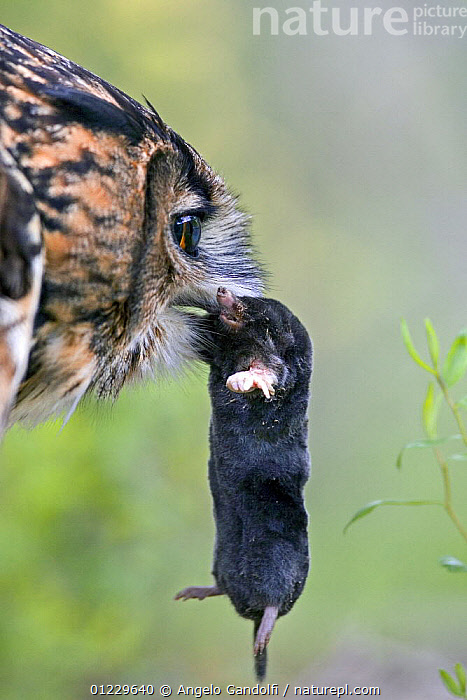 Eagle owl (Bubo bubo) with Common mole, captive, BEHAVIOUR,BIRDS,BIRDS OF PREY,DEATH,FEEDING,INSECTIVORES,MAMMALS,MOLES,OWLS,PREDATION,VERTEBRATES,VERTICAL, Angelo Gandolfi