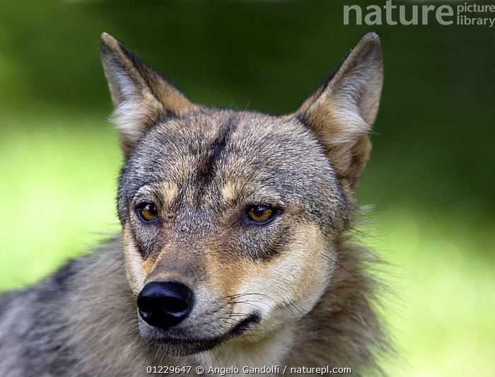 European Grey wolf (Canis lupus) portrait, captive, French Pyrenees, CANIDS,CARNIVORES,EUROPE,FRANCE,MAMMALS,PORTRAITS,VERTEBRATES,WOLVES, Angelo Gandolfi