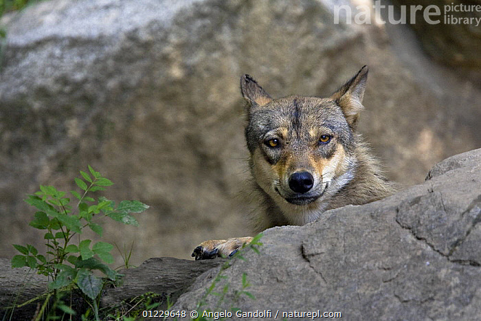 European Grey wolf (Canis lupus) looking out from behind a rock, captive, French Pyrenees, CANIDS,CARNIVORES,EUROPE,FRANCE,HEADS,MAMMALS,PORTRAITS,ROCKS,VERTEBRATES,WOLVES, Angelo Gandolfi