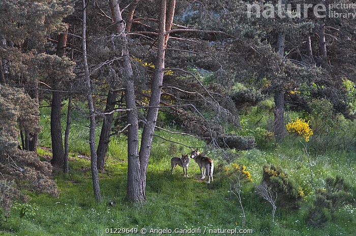 Two wild European Grey wolves (Canis lupus) in forest, Carpathian Mountains, Eastern Europe, CANIDS,CARNIVORES,EASTERN EUROPE,HABITAT,MAMMALS,TREES,TWO,VERTEBRATES,WOLVES,WOODLANDS,PLANTS, Angelo Gandolfi