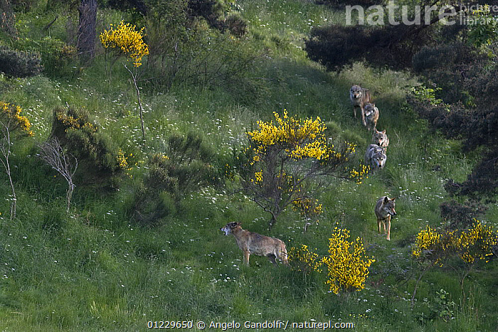 Wild European Grey wolves (Canis lupus) walking in a line, Carpathian Mountains, Eastern Europe, CANIDS,CARNIVORES,EASTERN EUROPE,FLOWERS,GROUPS,MAMMALS,SIX,VERTEBRATES,WOLVES, Angelo Gandolfi