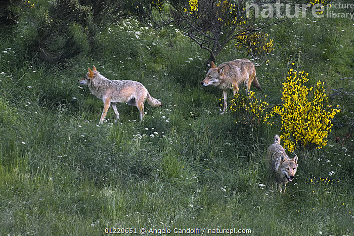 Three wild European Grey wolves (Canis lupus) Carpathian Mountains, Eastern Europe, CANIDS,CARNIVORES,EASTERN EUROPE,FLOWERS,GROUPS,HIGH ANGLE SHOT,MAMMALS,THREE,VERTEBRATES,WOLVES, Angelo Gandolfi