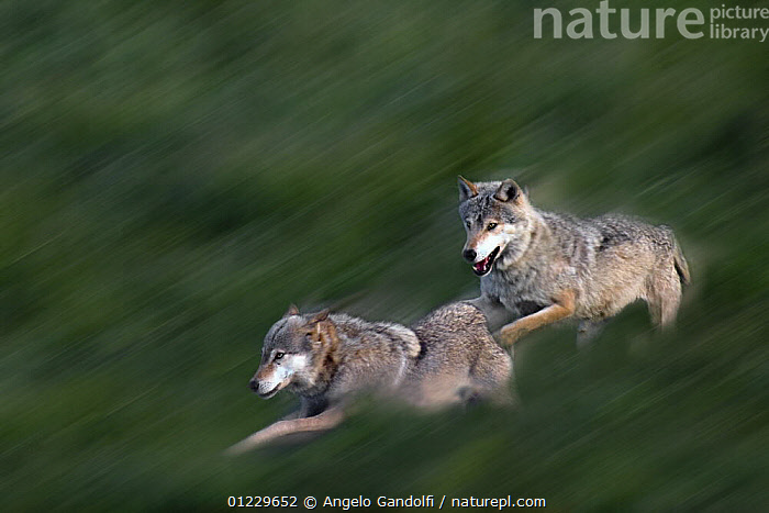 Two wild European Grey wolves (Canis lupus) playing, Carpathian Mountains, Eastern Europe, ACTION,BLURRED,CANIDS,CARNIVORES,EASTERN EUROPE,MAMMALS,MOVEMENT,PLAY,RUNNING,VERTEBRATES,WOLVES,Communication, Angelo Gandolfi