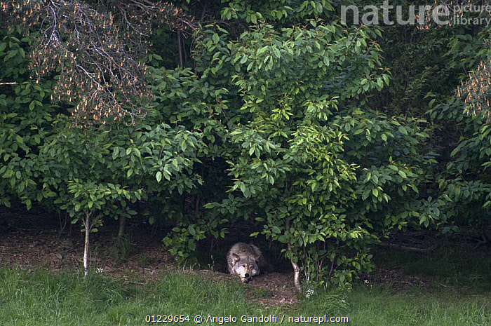 Wild European Grey wolf (Canis lupus) resting under trees in forest, Carpathian Mountains, Eastern Europe, CANIDS,CARNIVORES,EASTERN EUROPE,MAMMALS,TREES,VERTEBRATES,WOLVES,WOODLANDS,PLANTS, Angelo Gandolfi