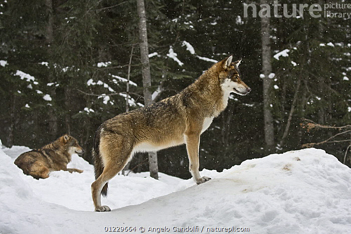 European Grey wolf (Canis lupus) portrait, captive, Parc National du Mercantour, Alps, Southern France, CANIDS,CARNIVORES,MAMMALS,NP,PORTRAITS,PROFILE,RESERVE,SNOW,TWO,VERTEBRATES,WOLVES,WOODLANDS,National Park, Angelo Gandolfi