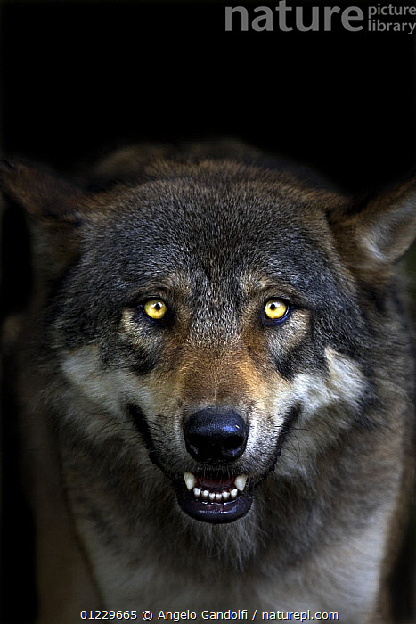 European Grey wolf (Canis lupus) snarling, showing teeth, captive, Parc National du Mercantour, France, AGGRESSION,BEHAVIOUR,CANIDS,CARNIVORES,EUROPE,EYES,FRANCE,MAMMALS,NP,PORTRAITS,RESERVE,TEETH,VERTEBRATES,VERTICAL,WOLVES,Concepts,National Park, Angelo Gandolfi