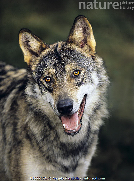 European Grey wolf (Canis lupus) portrait, captive, Bayerisch Wald National Park, Germany, CANIDS,CARNIVORES,EUROPE,GERMANY,MAMMALS,PORTRAITS,RESERVE,VERTEBRATES,VERTICAL,WOLVES, Angelo Gandolfi