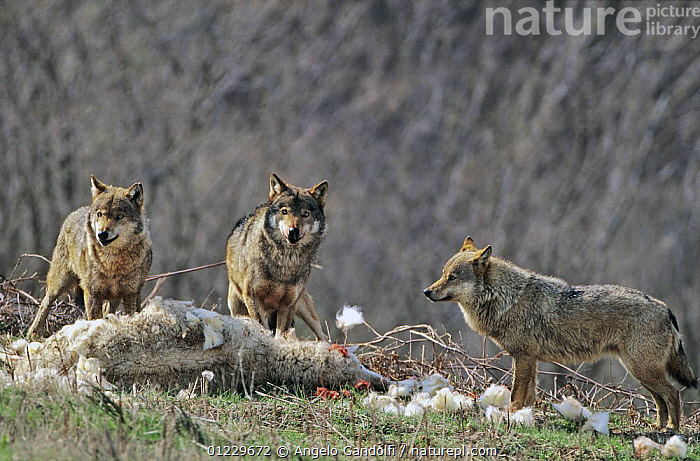 Three wild European Grey wolves (Canis lupus) feeding on dead sheep, Tuscany, Italy, BEHAVIOUR,CANIDS,CARNIVORES,DEATH,EUROPE,FEEDING,GROUPS,ITALY,MAMMALS,NP,PREDATION,SHEEP,VERTEBRATES,WOLVES,WOOL,National Park, Angelo Gandolfi