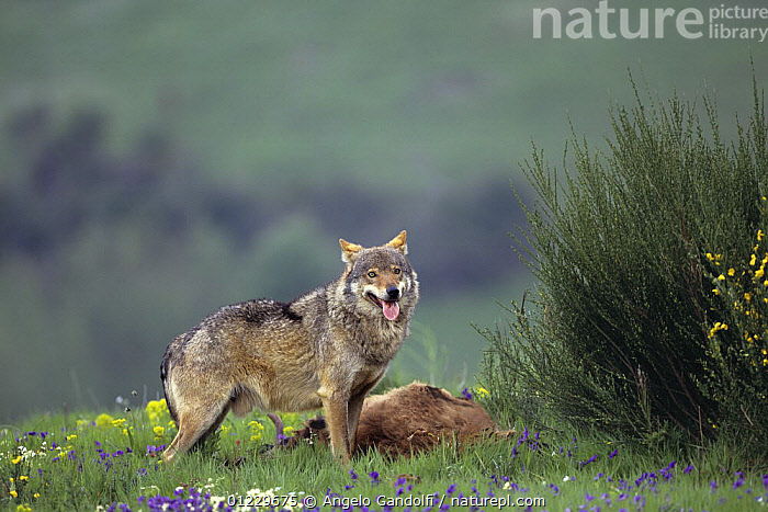 Wild European Grey wolf (Canis lupus) with his kill, Tuscany, Italy, CANIDS,CARCASS,CARNIVORES,DEATH,EUROPE,FLOWERS,ITALY,MALES,MAMMALS,NP,PREDATION,VERTEBRATES,WOLVES,National Park,Behaviour, Angelo Gandolfi