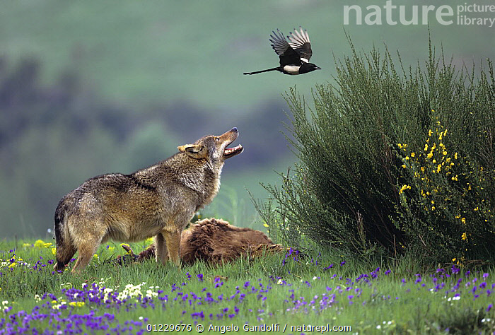 European Grey wolf (Canis lupus) protecting his kill from a magpie, Tuscany, Italy, AGGRESSION,BEHAVIOUR,BIRDS,CANIDS,CARCASS,CARNIVORES,EUROPE,FLOWERS,ITALY,MAGPIES,MAMMALS,MIXED SPECIES,NP,VERTEBRATES,WOLVES,Concepts,National Park, Angelo Gandolfi