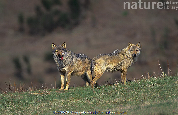 Wild European Grey wolves (Canis lupus) Tuscany, Italy, CANIDS,CARNIVORES,EUROPE,ITALY,MALE FEMALE PAIR,MAMMALS,NP,VERTEBRATES,WOLVES,National Park, Angelo Gandolfi