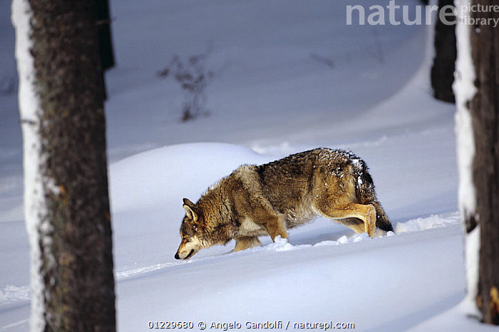 European Grey wolf (Canis lupus) following a track, captive, Bayerisch National Park, Germany, BEHAVIOUR,CANIDS,CARNIVORES,EUROPE,GERMANY,MAMMALS,RESERVE,SCENT,SNOW,TREES,VERTEBRATES,WOLVES,PLANTS, Angelo Gandolfi