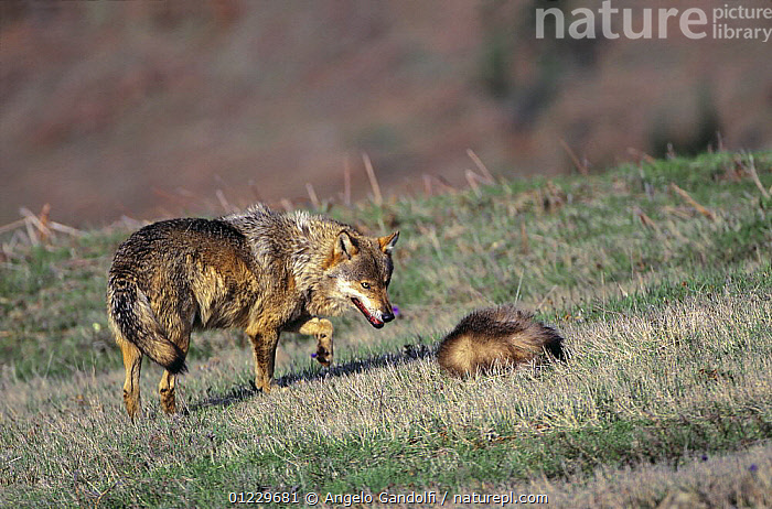 Wild European Grey wolf {Canis lupus} approaching a badger (?already dead), Tuscany, Italy., BADGERS,BEHAVIOUR,CANIDS,CARNIVORES,EUROPE,ITALY,MAMMALS,MIXED SPECIES,NP,VERTEBRATES,WOLVES,National Park, Angelo Gandolfi