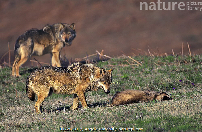 European Grey wolf {Canis lupus} approaching a badger (?already dead), Tuscany, Italy., BADGERS,BEHAVIOUR,CANIDS,CARNIVORES,EUROPE,ITALY,MAMMALS,MIXED SPECIES,NP,SCAVENGING,TWO,VERTEBRATES,WOLVES,National Park, Angelo Gandolfi