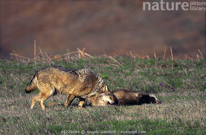 Wild European Grey wolf {Canis lupus} rolling on a dead badger, Tuscany, Italy., BEHAVIOUR,CANIDS,CARNIVORES,EUROPE,ITALY,MAMMALS,NP,SCENT MARKING,VERTEBRATES,WOLVES,National Park, Angelo Gandolfi