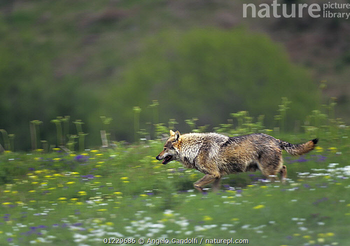 Wild European Grey wolf (Canis lupus) running, Tuscany, Italy, ACTION,BEHAVIOUR,BLURRED,CANIDS,CARNIVORES,EUROPE,ITALY,MAMMALS,MOVEMENT,NP,VERTEBRATES,WOLVES,National Park, Angelo Gandolfi