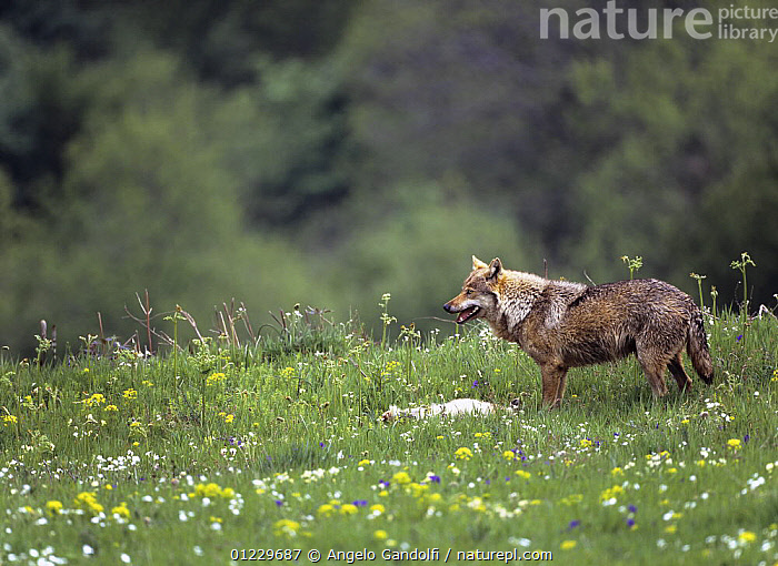 Wild European Grey wolf (Canis lupus) with prey (possibly a hare) Tuscany, Italy, CANIDS,CARNIVORES,EUROPE,FLOWERS,ITALY,MALES,MAMMALS,PREDATION,VERTEBRATES,WOLVES,Behaviour, Angelo Gandolfi