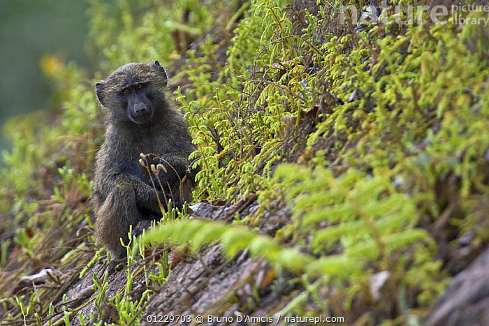 Olive / Anubis baboon (Papio anubis) young sitting on steep slope, Kaffa, Southern Ethiopia, East Africa December 2008, BABOONS,EAST AFRICA,ETHIOPIA,JUVENILE,MAMMALS,MONKEYS,PRIMATES,VERTEBRATES,Africa, Bruno D'Amicis