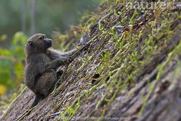 Olive / Anubis baboon (Papio anubis) young climbing steep slope with the aid of a liane, Kaffa, Southern Ethiopia, East Africa December 2008, BABOONS,BEHAVIOUR,CLIMBING,EAST AFRICA,ETHIOPIA,JUVENILE,LEARNING,MAMMALS,MONKEYS,PRIMATES,SITTING,VERTEBRATES,Africa, Bruno D'Amicis