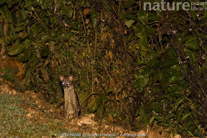 Small spotted / Common Genet (Genetta genetta) Kaffa, Southern Ethiopia, East Africa December 2008, CARNIVORES,EAST AFRICA,ETHIOPIA,EYES,GENETS,MAMMALS,VERTEBRATES,Africa, Bruno D'Amicis