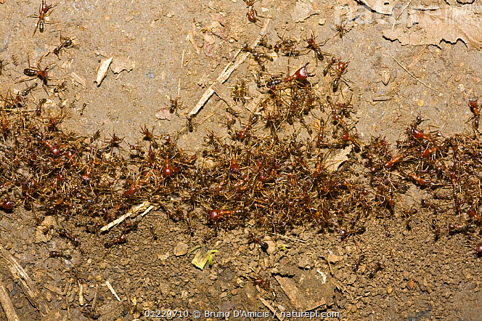 Driver / Safari / Army ant (Dorylus sp.) column on forest floor, Kaffa zone, Southern Ethiopia, East Africa December 2008, ARMY ANTS,BEHAVIOUR,CASTES,EAST AFRICA,ETHIOPIA,GROUPS,HYMENOPTERA,INSECTS,INVERTEBRATES,RAIDING,Africa, Bruno D'Amicis
