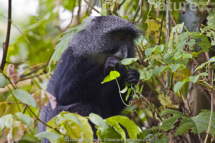 Blue / Sykes / Gentle monkey (Cercopithecus mitis) feeding on leaves in forest canopy, Kaffa, Southern Ethiopia, East Africa December 2008, BEHAVIOUR,EAST AFRICA,ETHIOPIA,FEEDING,GUENONS,MAMMALS,MONKEYS,PRIMATES,VERTEBRATES,Africa, Bruno D'Amicis