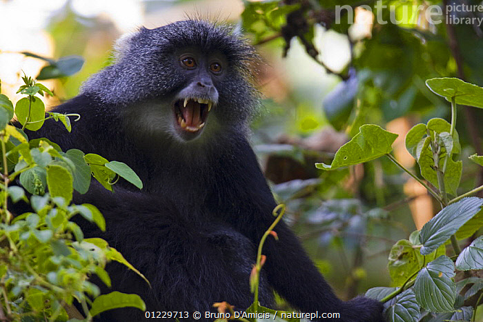 Blue / Sykes / Gentle monkey (Cercopithecus mitis) screaming, Kaffa, Southern Ethiopia, East Africa December 2008, CALLING,EAST AFRICA,ETHIOPIA,GUENONS,LEAVES,MAMMALS,MONKEYS,MOUTHS,PRIMATES,SCREAMING,TEETH,VERTEBRATES,VOCALISATION,Africa, Bruno D'Amicis