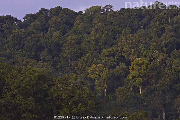 Afromontane cloud forest, Boginda, Kaffa Zone, Southern Ethiopia, East Africa December 2008, AFRICA,CLOUD FOREST,EAST AFRICA,FORESTS,LANDSCAPES,TREES,PLANTS, Bruno D'Amicis